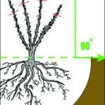 Чем подкормить крыжовник после сбора урожая: эффективные удобрения