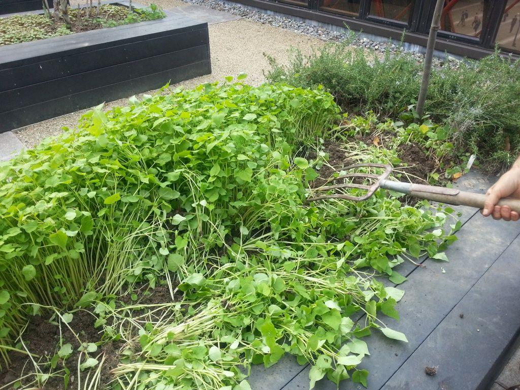 Посеять горчицу от сорняков – какие последствия для почвы и других культур, как помогает, когда садить