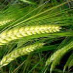 Рожь как сидерат: особенности применения весной и осенью, польза для овощей
