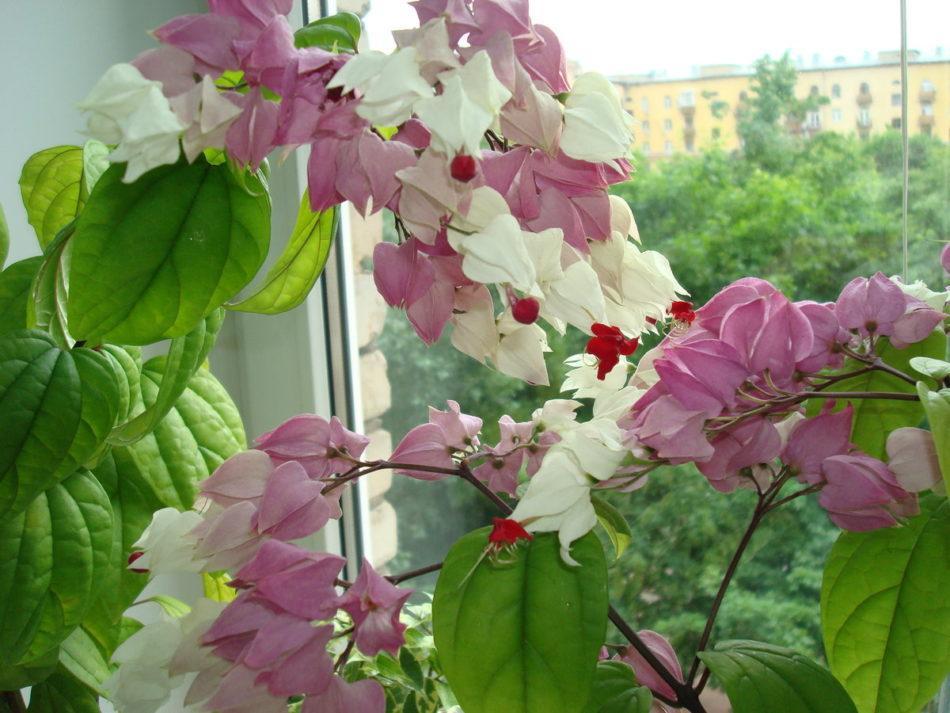 Клеродендрум Томпсона: разновидности цветка с описанием и уход в домашних условиях