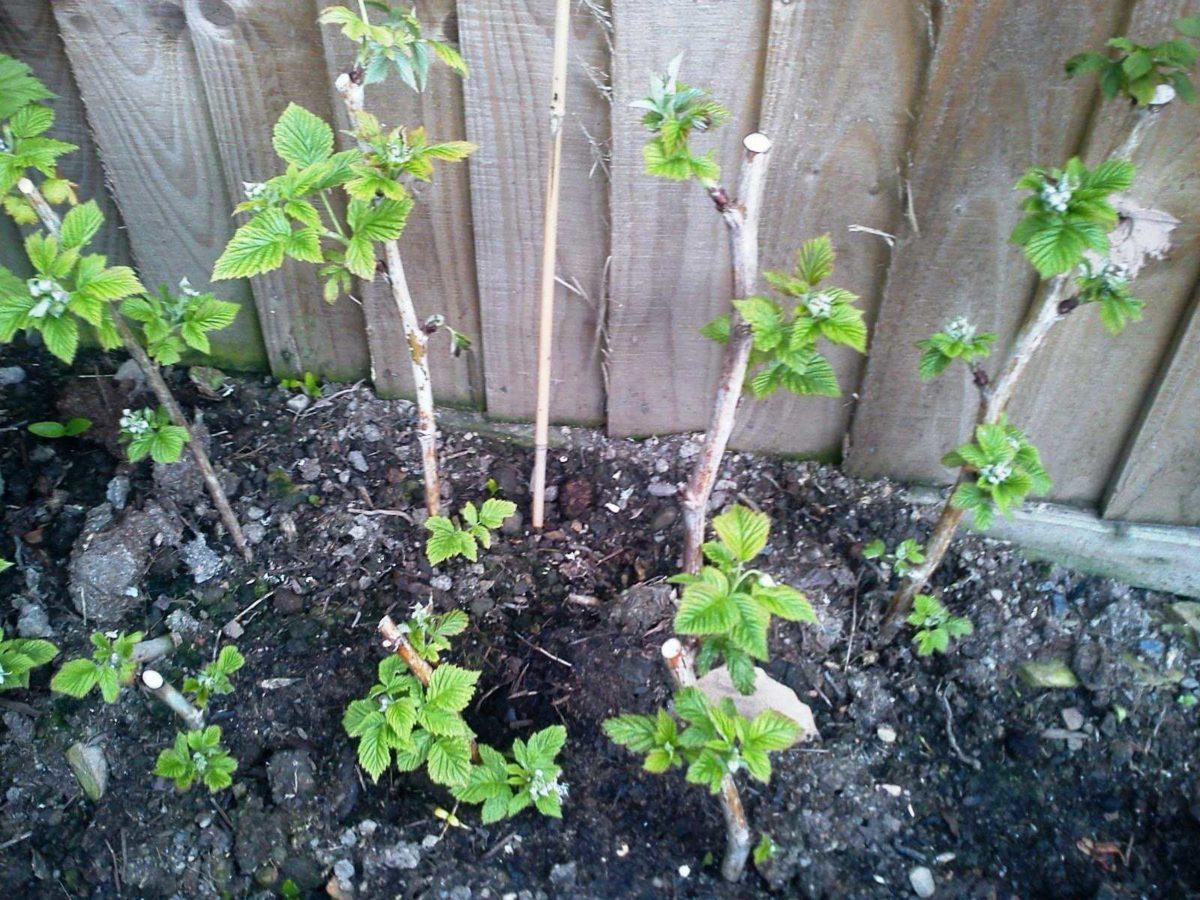 подкормка малины осенью удобрениями