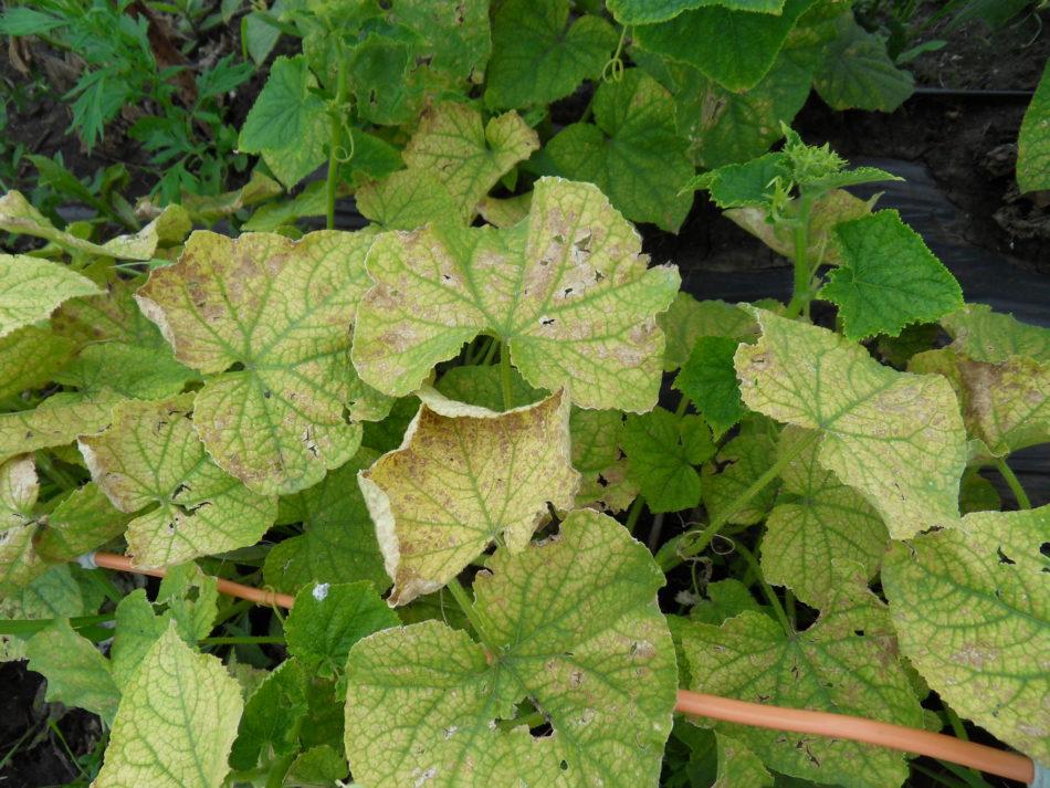 Чем подкормить огурцы в августе для урожая: теплица и открытый грунт