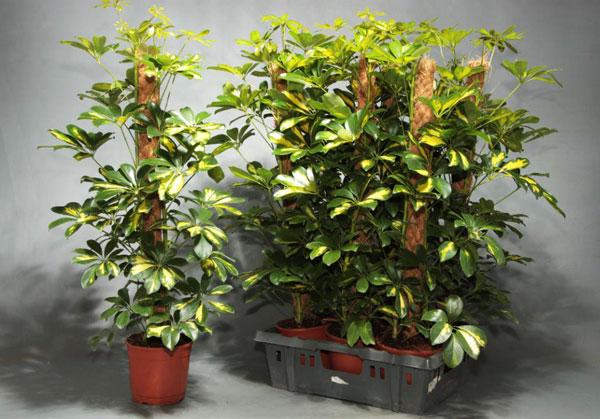 Шефлера — цветок для домашнего выращивания. Требования к уходу – свет, полив, температура и влажность