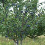 Подкормка сливы осенью: органические и минеральные удобрения, принципы использования веществ