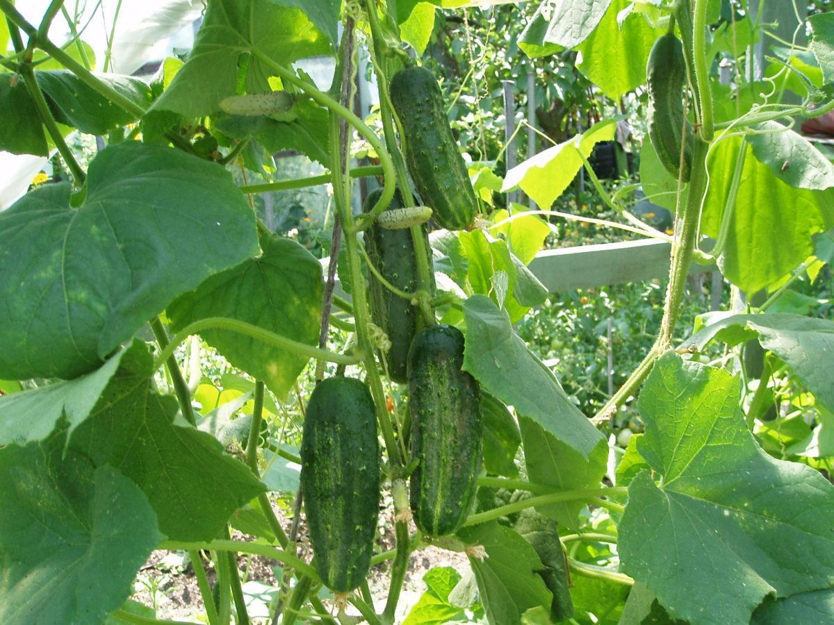Форма огурцов при нехватке удобрений: определяем, какие вещества нужны растению