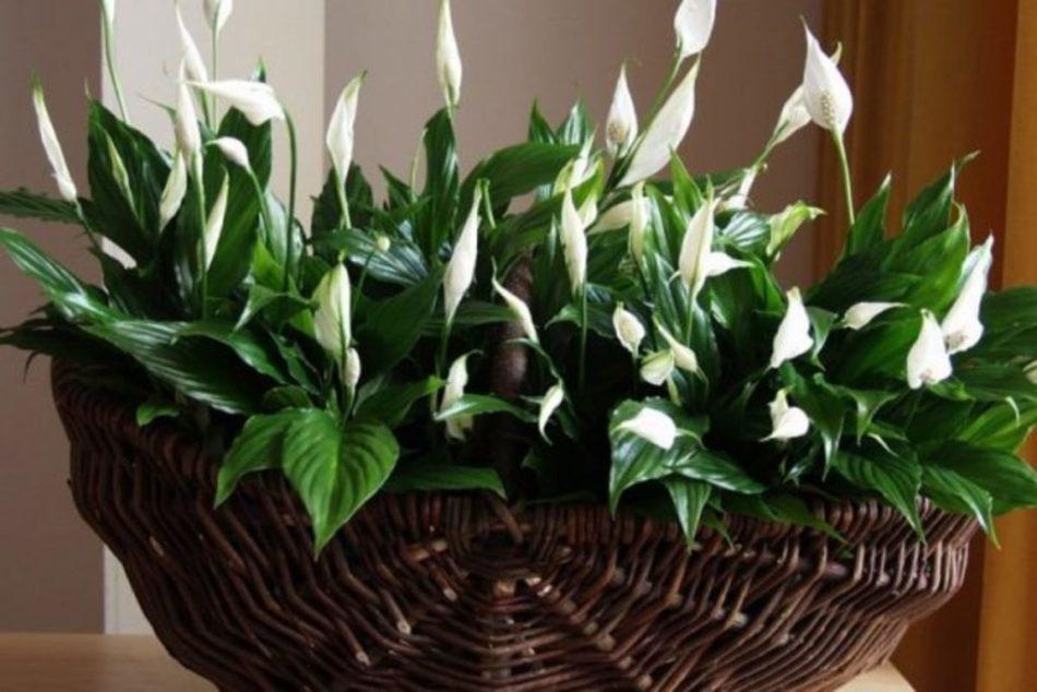 Цветок женское счастье (спатифиллум): описание растения, сорта, условия для произрастания, уход в домашних условиях