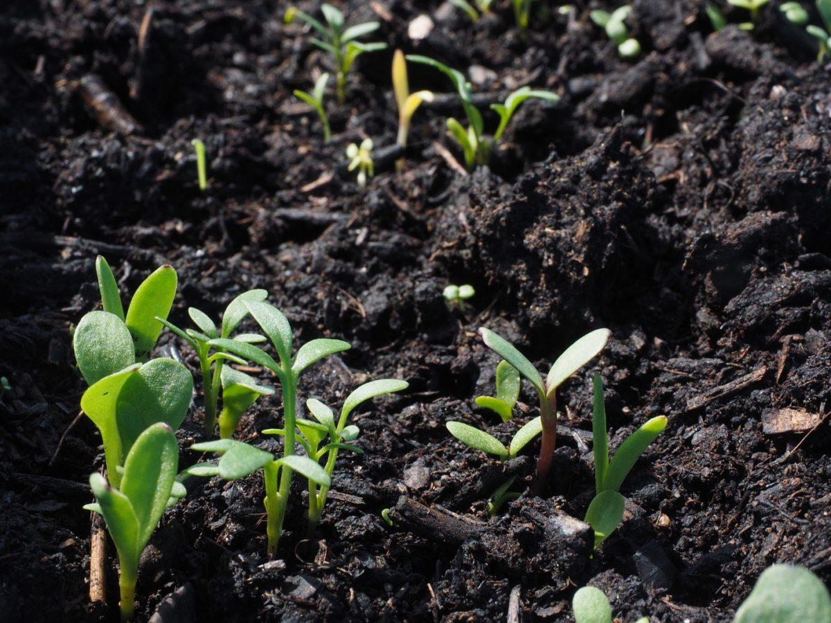 Спитой чай как удобрение — как использовать чайную заварку для растений