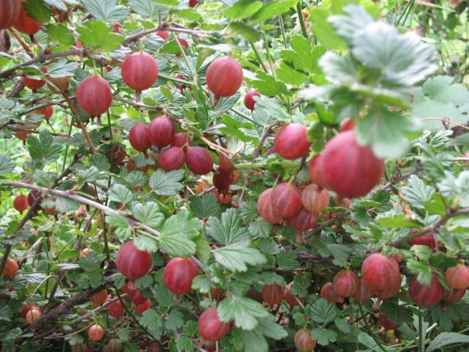 Чем подкормить кусты смородины и крыжовника осенью: подходящие удобрения