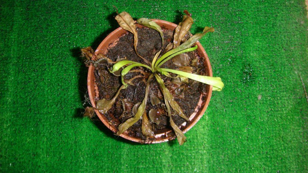цветок мухоловка