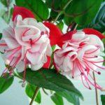 Фуксия: выращивание, размножение и уход в домашних условиях. Популярные комнатные сорта