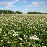 Гречиха как сидерат: когда применяется, правила посадки, какую пользу приносит растениям