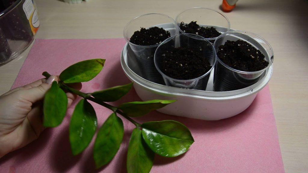 Замиокулькас – уход в домашних условиях, способы размножения. Разновидности растения с описанием и фото, пересадка