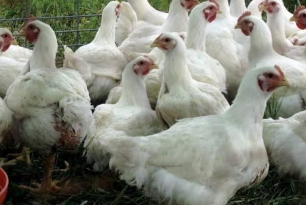 Секреты птицефабрики: кормление бройлеров