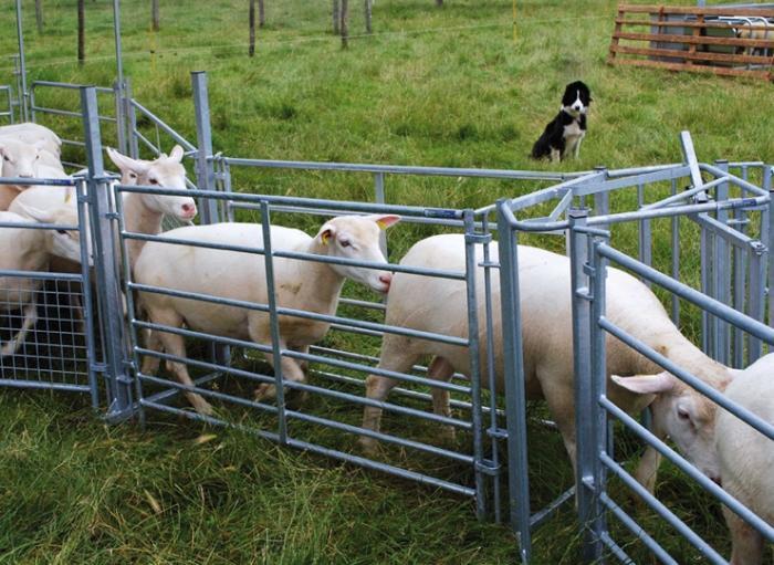 Сортировка овец